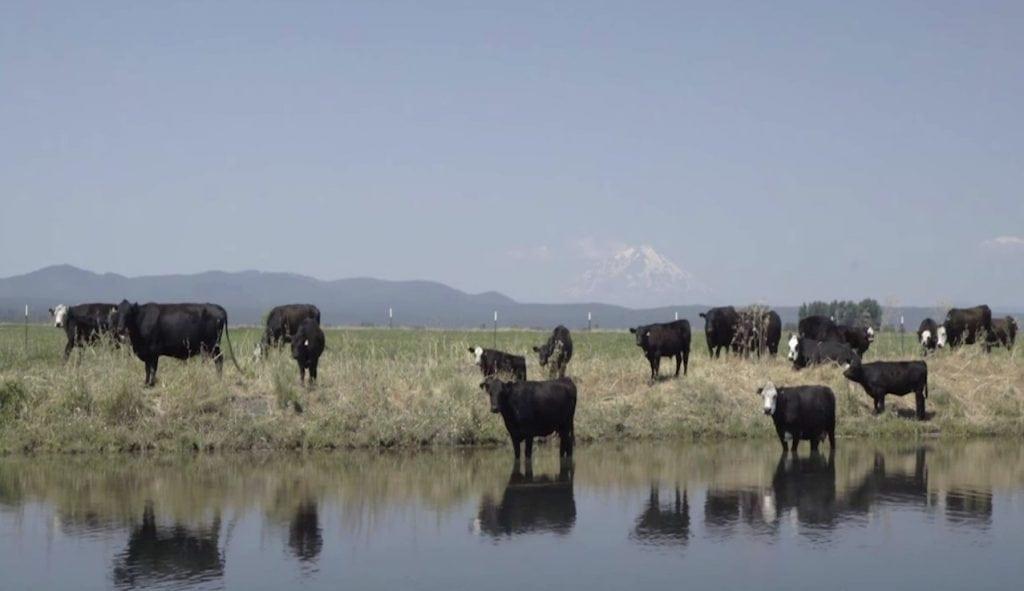 Fall River - Cows