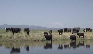 streambank-cows