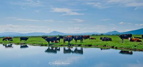 Fall River - Cattle